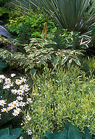 Variegated plant garden with Leucanthemum shasta daisies, blue hostas, variegated hosta,