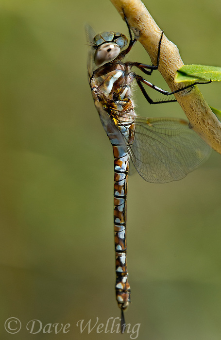 339570002 a wild male paddle-tailed darner aeschna palmata perches on a plant stem along big pine creek at about 8,000 feet in central inyo county california united states
