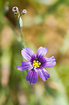 California blue-eyed grass, Sisyrinchium bellum, Mount Diablo State Park, California