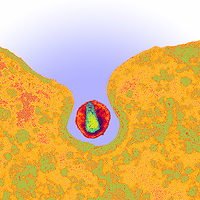 HIV ,Human Immunodeficiency Virus, being surrounded by a cell. HIV infects a number of cells in the body, though the main target is lymphocyte cell, which is a type of T-cell. Once the HIV virus has infected the host cell it then replicates itself with thousands of copies. Image 2 of 3 in series.  TEM X120,000