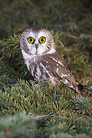 Northern Saw-whet owl perched in a spruce tree