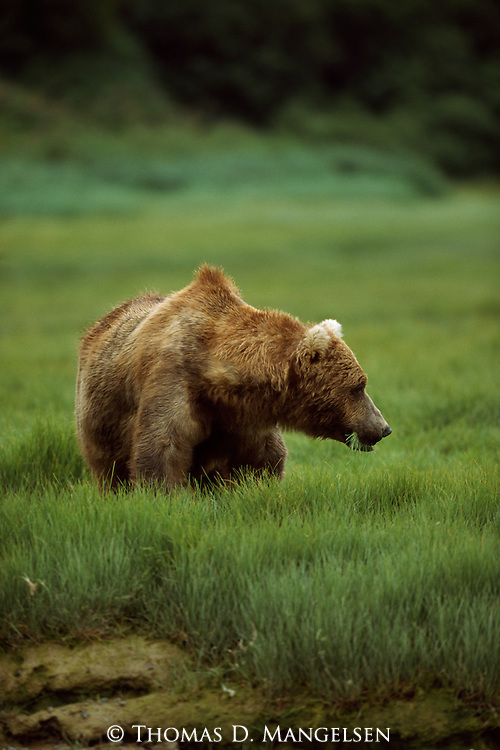 Grizzly bear eating grass in Alaska