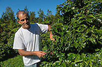 France, &icirc;le de la R&eacute;union, Saint-Joseph, Grand Coude:  Domaine de Laurina, Jacques Lepinay,  producteur de Bourbon Pointu //  France, Reunion island (French overseas department), Saint Joseph, Grand Coude, Domaine de Laurina, coffee farm, Jacques Lepinay,   producer  Bourbon Pointu<br /> <br /> Auto N&deg;: 2014-112