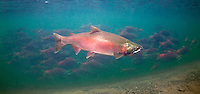 Coho Salmon (with Sockeye Salmon in background)<br />