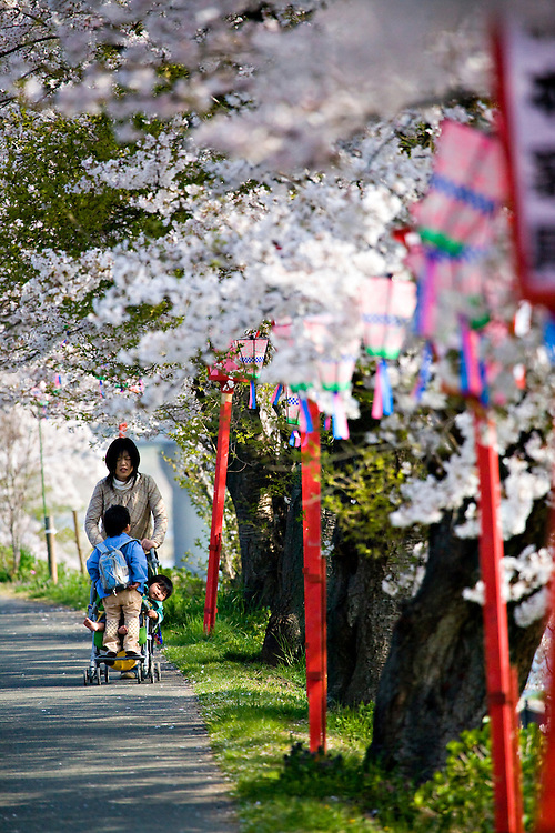 Mother pushing 2 children in stroller along sidewalk lined with blooming cherry blossom trees in Takeda Japan