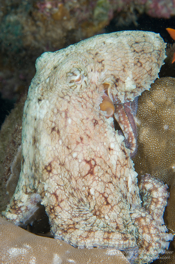 Cocos Island, Costa Rica; an octopus changes it's color and patterning to match the coral background