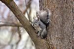 Western gray squirrel (Sciurus griseus).