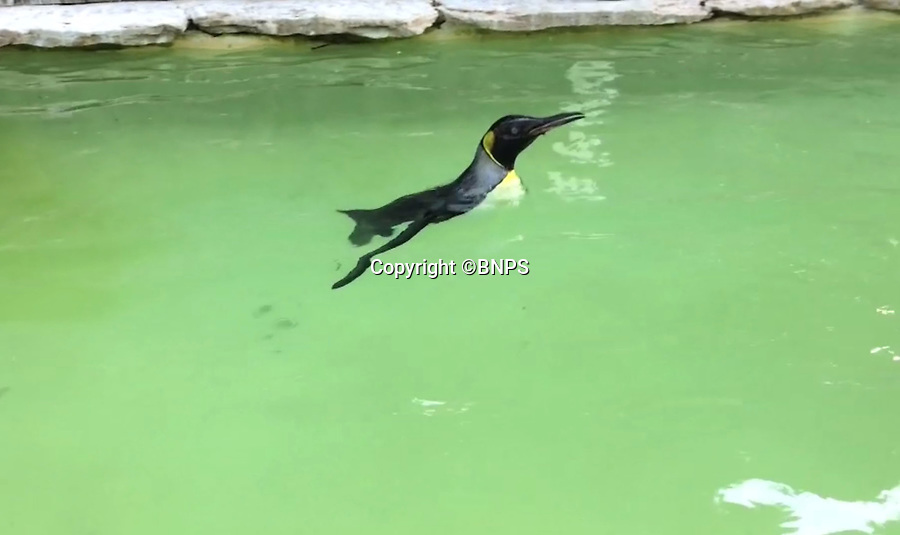 BNPS.co.uk (01202 558833)<br /> Pic: PhilYeomans/BNPS<br /> <br /> Charlotte the Penguin finally learns to swim.<br /> <br /> Keeper Alistair Keen at the Birdland sanctuary in the Cotswold's has finally managed to teach aquaphobic baby penguin Charlotte how to swim.<br /> <br /> The 10 month old hand reared chick had never dipped her toes in the attractions large pool, and Alistair's initial attempts to introduce her to the watery enviroment resulted in her splashing around in panic and racing to the side as fast as she could.<br /> <br /> But now after gentle cajoling the flightless bird has finally realised she is a penguin and now Alistair's main problem is how to get her out of the pool.
