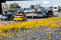 Bluebonnets and yellow wildflowers paint I-35 interstate highway during rush hour traffic in downtown Austin, Texas.
