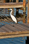 A white heron (egret) on a dock at sunset in St Petersburg, Florida