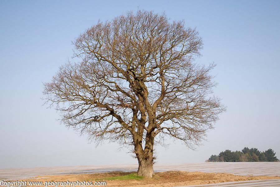 Single leafless oak tree in winter against blue sky ...