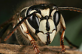 Face of a Bald-Faced Hornet perched on a twig.