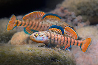 Rainbow Darters<br />