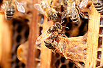 New Queen Honey Bee, hatching from queen cell within hive, Apis mellifera, Kent UK