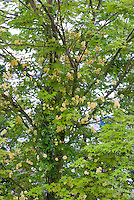 Rosa banksiae 'Lutea' yellow flowered climbing rose vine growing in Japanese maple Acer tree for support