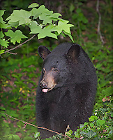 BlackBear in the woods of western NC mountains with his tongue sticking out