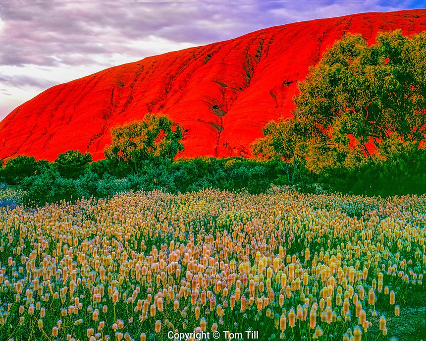 Pussytail flowers at Ayers Rock, Uluru/Kata Juta National Park, Australia Red Centre of Northern Territory, Sandstone monolith in Australia desert, ptilotus noblius