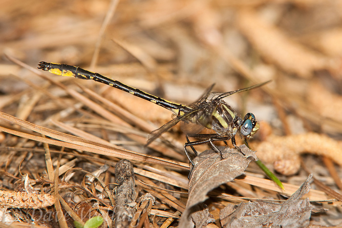 334060017 a wild male oklahoma clubtail dragonfly gomphus oklahomensis perches on the ground in jasper county texas