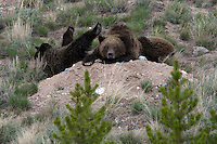 This Grizzly bear (Ursus arctos horribilis) mom or sow, is so accustom to the antics of her cubs that she can sleep right through their wrestling matches.