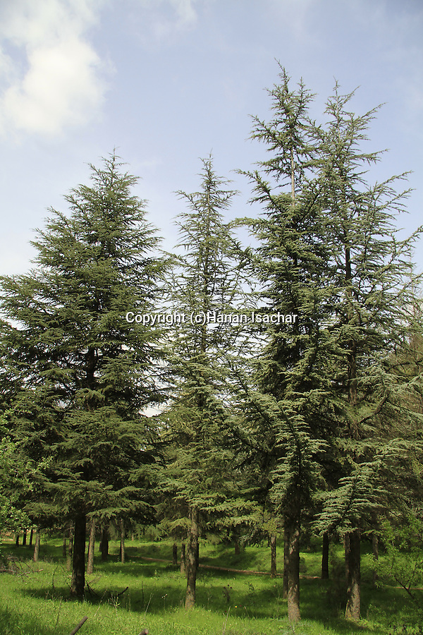 Israel, Upper Galilee, Cedars at Biria forest