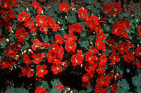 Tropaeolum 'Empress of India' Nasturtium red flowers and foliage, annual plant