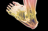 A posterolateral view of stylized muscles of the left foot. Royalty Free