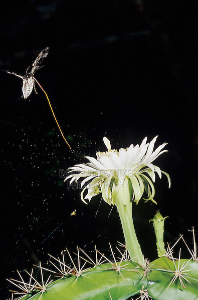 Sphinx Moth, Sphingidae, adult at night drinking out of Night-Blooming Cereus (Peniocereus greggii) , The Inn at Chachalaca Bend, Cameron County, Rio Grande Valley, Texas, USA