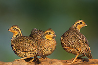 509250057 three female northern bobwhites colinus virginianus perch on a log in sunset light on a ranch in the rio grande valley in south texas united states