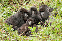 Mountain Gorillas (Gorilla beringei beringei), Amahoro group, silverback, female with young, Volcanoes National Park, Rwanda, Africa.