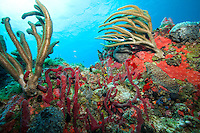 Underwater at Bovacoap Point.St. John.U.S. Virgin Islands