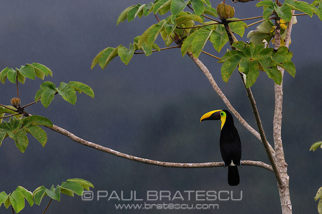 Chestnut Mandible or Swainson's Toucan (Ramphastos swainsonii) Perched in the rain