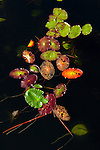 Leaves form pattern floating on Siltcoos Lake, OR