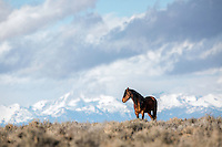 Mustang on the high desert below the Wind River Mountains of western Wyoming.