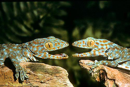 GK02-017z  Tokay Gecko - uttering threatening sound at intruder, defending territory  - Gekko gecko.