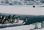 Adelie penguins jumping across crevasse, Antarctica