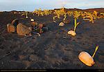 Sprouted Coconuts on New Black Sand Beach at Sunrise, Kaimu Beach at Kalapana, Kaimu Bay, Puna District, Big Island of Hawaii