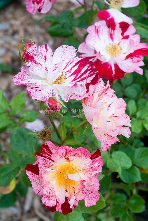 Rosa, roses, 'Stars n Stripes', miniature rose, patio, striped, red, white