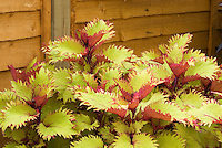 Coleus 'Henna' Solenostemon annual foliage plant showing many yellow and red leaves and stems against wooden wall
