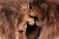 Geladas sleeping (Theropithecus gelada), Simien Mountains National Park, Ethiopia.