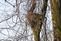 Eichhörnchen, Kobel, Nest, Sciurus vulgaris, Red squirrel, Écureuil d`Europe