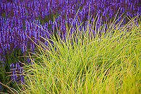 Autumn Moor Grass, Sesleria autumnalis, ornamental grass with Meadow Sage (Salvia x sylvestris) in Lurie Garden at Millenium Park, Chicago