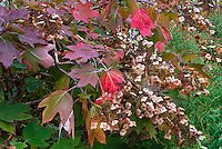 Hydrangea quercifolia in autumn color and flowers | Oakleaf Hydrangea