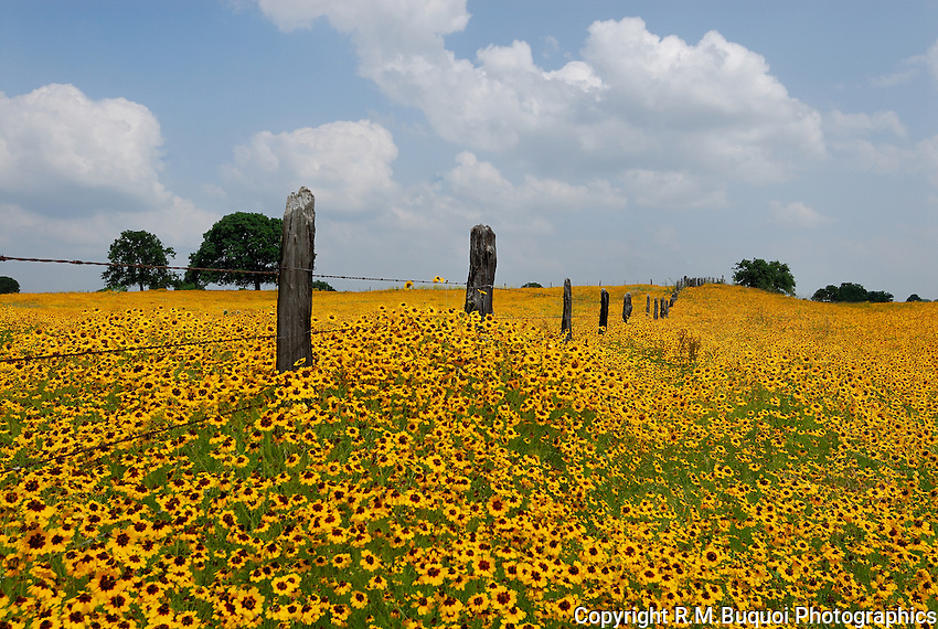 Field of Coreopsis near Llano, Texas
