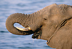 African elephant drinks water, Chobe National Park, Botswana