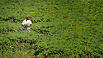 Noline Jean harvests spinach in La Tremblay, Haiti, where the United Methodist Committee on Relief (UMCOR) is working with earthquake survivors to improve their agricultural production.