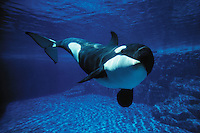 mf3. Orca (Killer) Whale (Orcinus orca). captive animal, aquarium shot..Photo Copyright © Brandon Cole. All rights reserved worldwide.  www.brandoncole.com..This photo is NOT free. It is NOT in the public domain. This photo is a Copyrighted Work, registered with the US Copyright Office. .Rights to reproduction of photograph granted only upon payment in full of agreed upon licensing fee. Any use of this photo prior to such payment is an infringement of copyright and punishable by fines up to  $150,000 USD...Brandon Cole.MARINE PHOTOGRAPHY.http://www.brandoncole.com.email: brandoncole@msn.com.4917 N. Boeing Rd..Spokane Valley, WA  99206  USA.tel: 509-535-3489