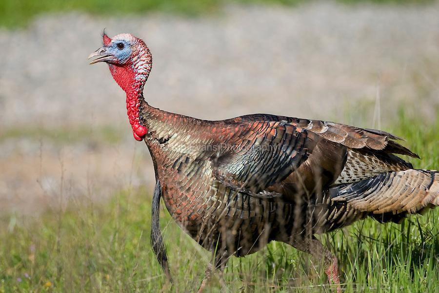 Male Wild Turkey (Meleagris gallopavo), Sierra Foothills, California