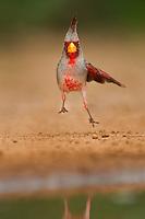 573900058 a wild male pyrrhuloxia cardinalis sinatus takes flight from a small pond on santa clara ranch starr county texas united states