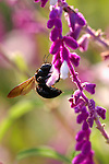 Carpenter Bee on Mexican Bush Sage, Southern California