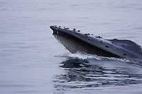 Humpback whale Megaptera novaeangliae Lunge feeding showing baleen plates hanging from upper jaw. Kvitøya, Arctic ocean